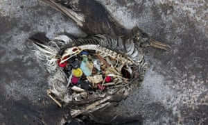 A black footed albatross chick with plastics in its stomach