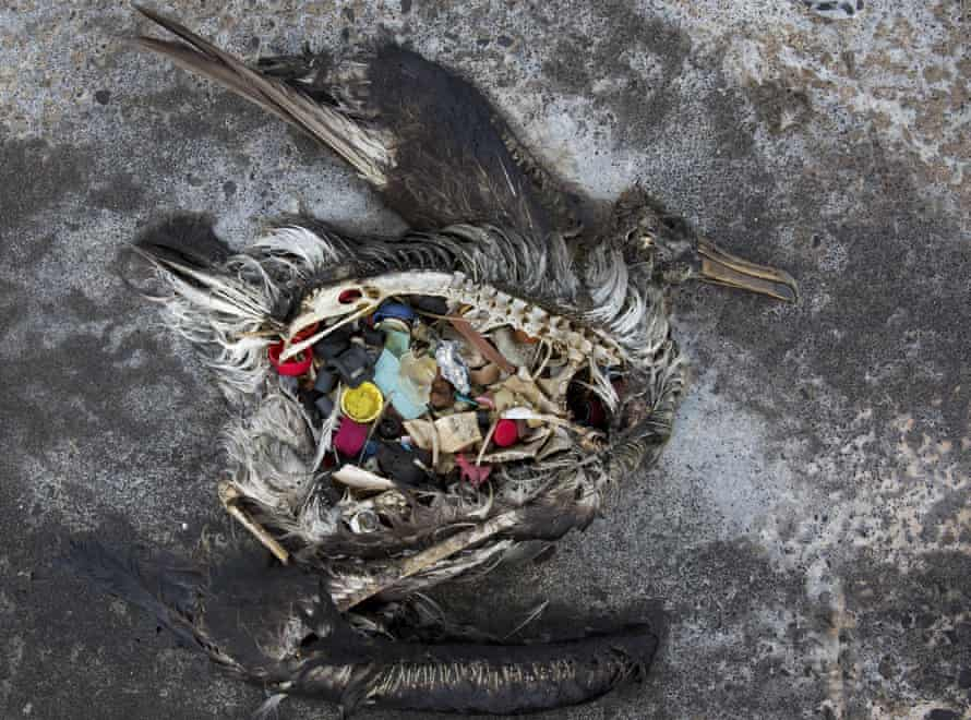 In this Nov. 2, 2014 photo provided by the U.S. Fish and Wildlife Service, a black footed albatross chick with plastics in its stomach lies dead on Midway Atoll in the Northwestern Hawaiian Islands.