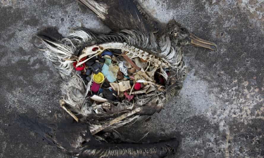 A black footed albatross chick with plastics in its stomach lies dead on Midway Atoll in the Northwestern Hawaiian Islands.