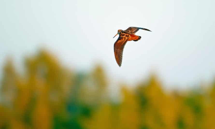 A Eurasian woodcock in flight