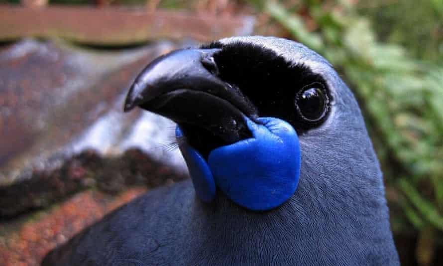 The Kōkako – 2016 Winner of New Zealand Bird of the Year.