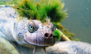 A Mary river turtle