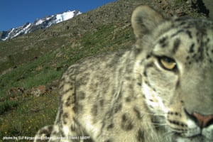 The first photographic evidence of a snow leopard in Shashmy Wildlife Sanctuary.