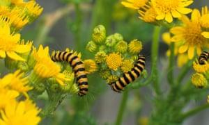 Caterpillars crawling on ragwort