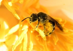 A bee covered with pollen sits in the blossom of a flower at the Berggarten park in Hanover, Germany