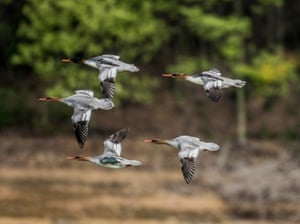 Endangered Chinese mergansers fly northwards after wintering in Weishui reservoir in Songzi, central China's Hubei Province