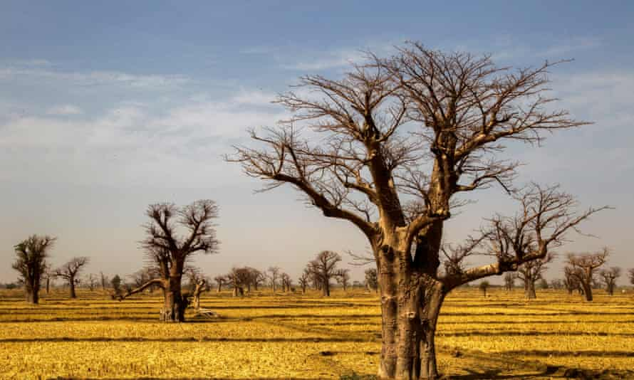 Baobab trees in a field in northern Mali.