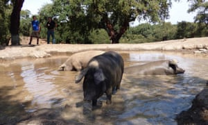 spain-andalucia-aracena-hills-bathing-pigs-at-jamones-eiriz