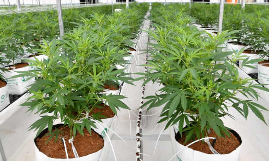 New Zealanders voted narrowly not to legalise cannabis in a referendum held at the same time as the October election.
