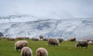 Sheep graze