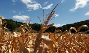 Drought-damaged corn stalks in Missouri Valley, Iowa.