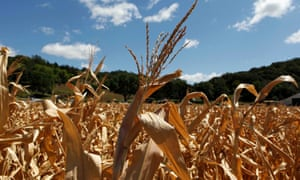Drought-damaged corn stalks at the McIntosh family farm in Missouri Valley, Iowa, August 13, 2012.