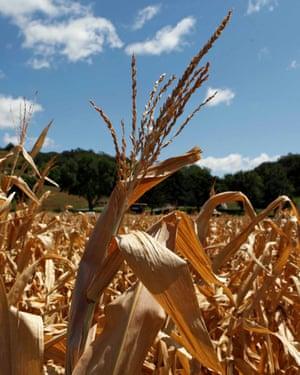 Drought-damaged corn stalks at a farm in Missouri Valley, Iowa.
