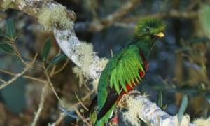 A male resplendent quetzal, unique to Costa Rica.