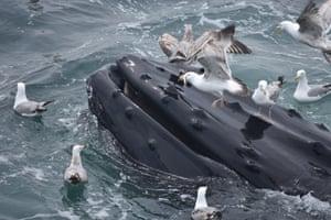 Gulls join in the feeding frenzy