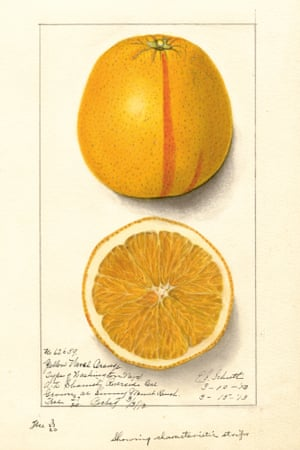 Watercolour of a cut orange from An Illustrated Catalogue of American Fruits and Nuts, published by Atelier Editions.