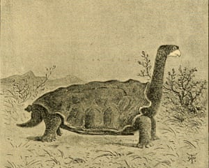 A drawing of Testudo abingdonii (now Chelonoidis abingdonii) from Darwin's 1890's book on his Beagle adventure.