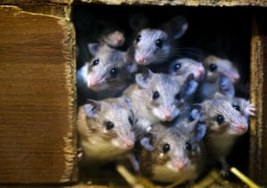 Bursa, Turkey: Spiny mice, an endangered species, at Bursa zoo
