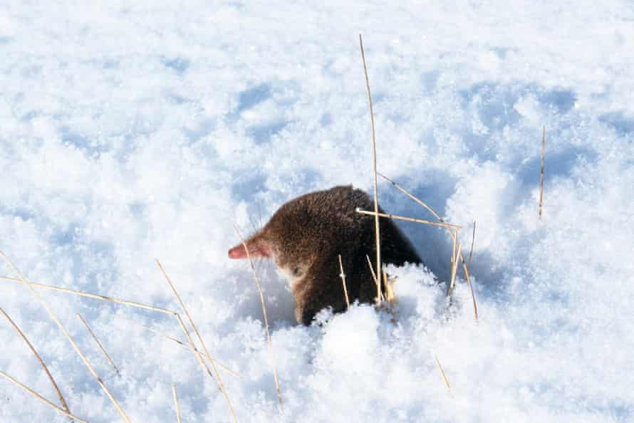 A shrew watches Murdo fall over on his new skis bought off the internet for £75.