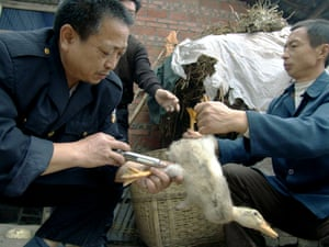 A Chinese vet vaccinates a duck against bird flu in a village in Yongchuan, southwest China.