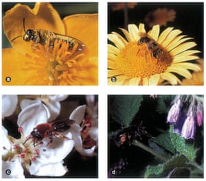 A plate from The Natural History of Pollination, showing Michael Proctor's photographs of a sawfly on marsh marigold; b solitary bee on Anthemis tinctoria; c solitary bee on pear blossom; and d solitary bee approaching a garden comfrey.