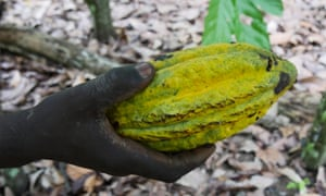 A cocoa farmer who has a plantation in Mount Tia forest holds a recently harvested cocoa pod. Many traders turn a blind eye to the provenance of the produce.
