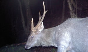 A sambar deer on camera trap – an important prey species for tiger.
