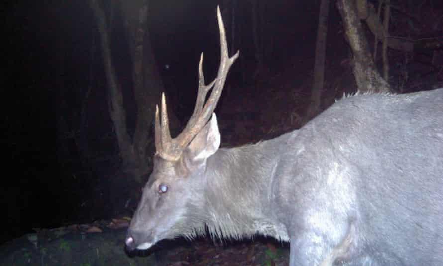 A sambar deer on camera trap – an important prey species for tiger.