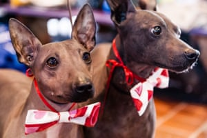 New York, USA For the first year, American Hairless Terriers competed in the Westminster Kennel Club Dog Show