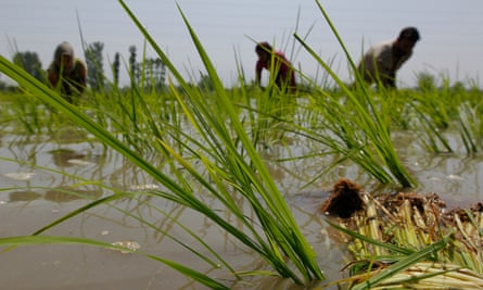 Methane emissions from rice paddies in countries such as India have risen in recent years.