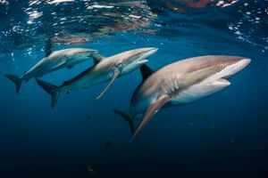 Silky shark (Carcharhinus falciformis) – currently found in the Mediterranean, southern Spain/Portugal, mid-Atlantic, Indian Ocean, and both sides of the Pacific coast.