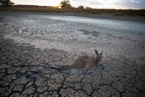 A kangaroo stuck in deep mud at the Cawndilla Lake outfall near Menindee as it tries to access the little remaining water around the weir.