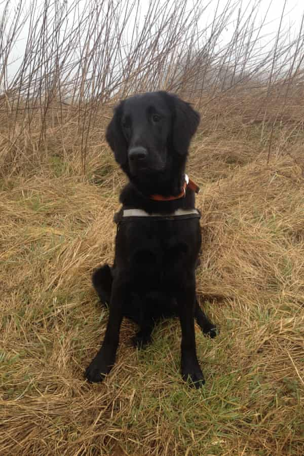 Tui, the flat-coated retriever sniffer dog who will be helping in the survey.
