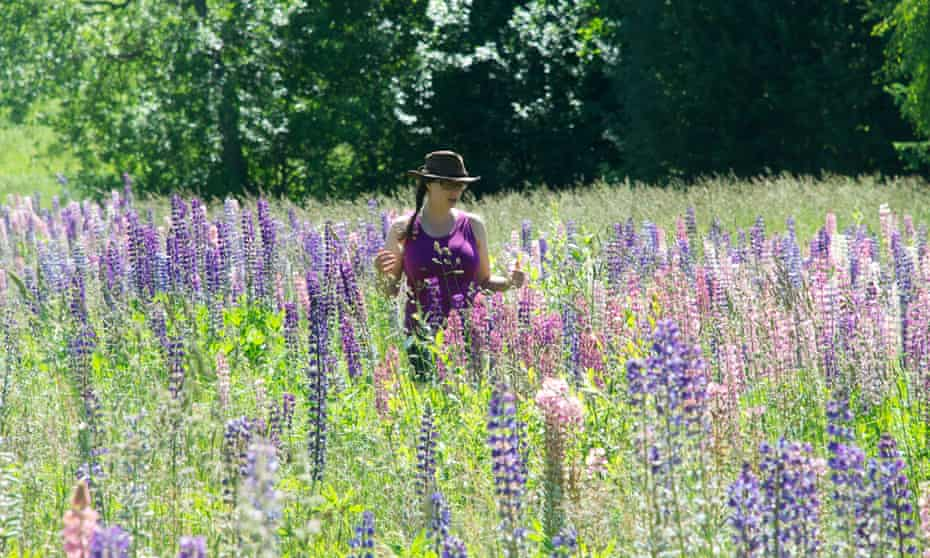 Pink, purple and white lupins carpet a field.