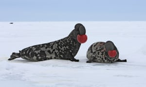 Hooded Seal courtship