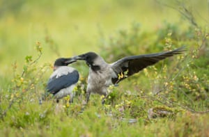Two hooded crows fighting in a Finnish forest.