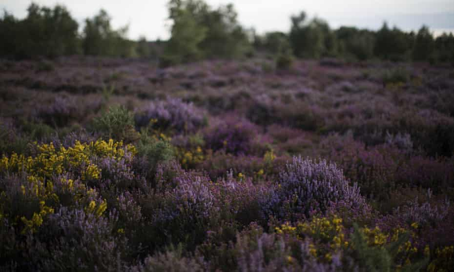 Thursley Common nature reserve, which is managed by Natural England.