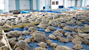 Texas, US. Rescued turtles stunned by cold weather at an evacuation centre in South Padre Island