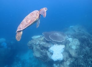 A turtle swims past an area of coral which is bleached