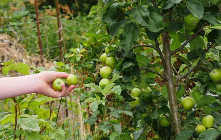 Check and remove any damaged fruit then target heavily laden branches on apple and other fruit trees.