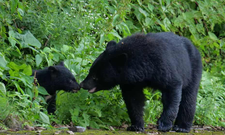 A black bear and its cub in Iwate, Japan.