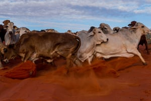 Cattle fighting for rank at the lead of the mob being mustered out of the Simpson desert.