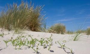 Sea rocket in the dunes of Texel.