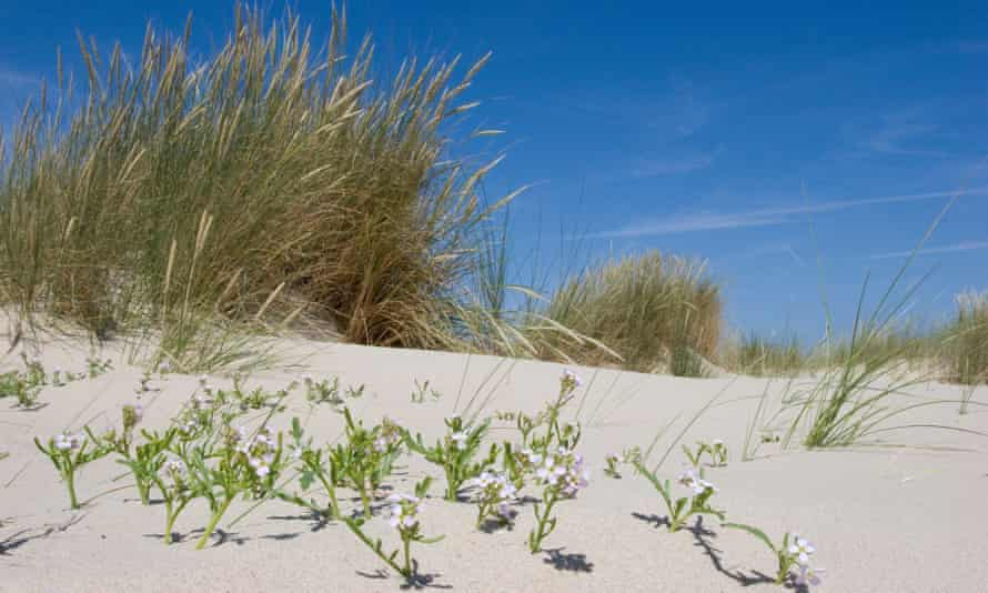 Sea rocket in the dunes of Texel.