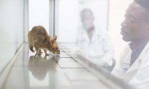 A rat at Apopo's tuberculosis detection centre in Morogoro, Tanzania