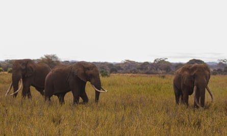 Elephants Tim (left), his nephew Townsend (centre) and Craig in Amboseli National Park, Kenya, on 10 September 2016, during operations to fit a tracking collar to Tim.