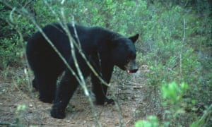 A Florida black bear: 295 like this were killed in two days.