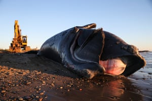 A 9-year-old male right whale lies dead on a beach on Miscou Island in New Brunswick after being towed onto the shore the night before on June 7, 2019.