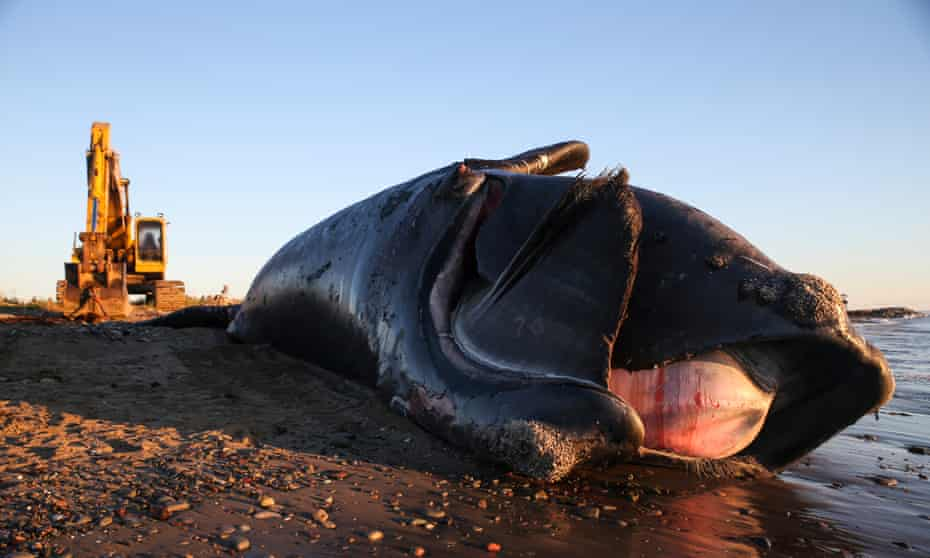A dead North Atlantic right whale washed up on a beach in New Brunswick, Canada.
