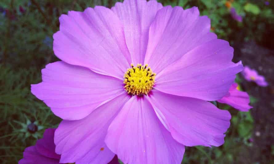 The purple head of a cosmos 'Sensation' flower